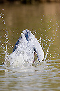 Goliath Heron fishing, St Lucia Wetlands, South Africa (1)