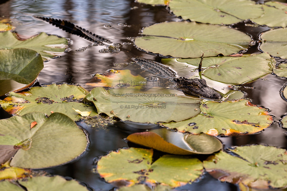 A young alligator among lilypads in the blackwater bald cypress and tupelo swamp during spring at Cypress Gardens April 9, 2014 in Moncks Corner, South Carolina.