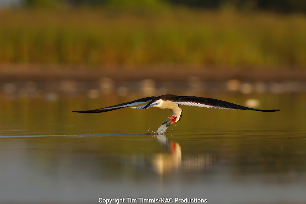 Black Skimmer, Rynchops niger, Bryan Beach, Texas gulf coast, skimming, head snapped back, splashing water,