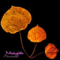 Aspen leaf scannergram.<br /> By: Marie Dennis<br /> www.mariefgriffinphotography.com