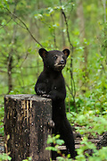USA, Vince Shute Wildlife Sanctuary (MN).Black bear (Ursus americanus) with cub