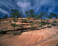 Ponderosa pine trees grow from cracks in sandstone, with restricted roots producing a bonsai effect, and form an open stunted forest on a graceful rock surface, Zion National Park, (medium format original) © 1998 David A. Ponton