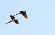 Flying hyacinth macaws (Anodorhynchus hyacinthinus), Pantanal, Brazil.