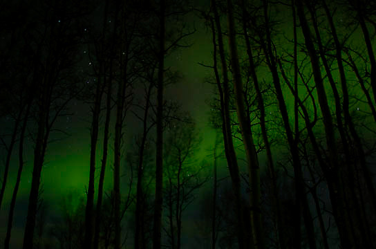Northern Lights (Aurora Borealis) dance vividly behind an Aspen forest near Anchorage, Alaska. Winter.