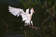 Cattle Egret Landing