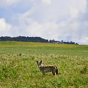 Coyote, Point Reyes National Seashore, California