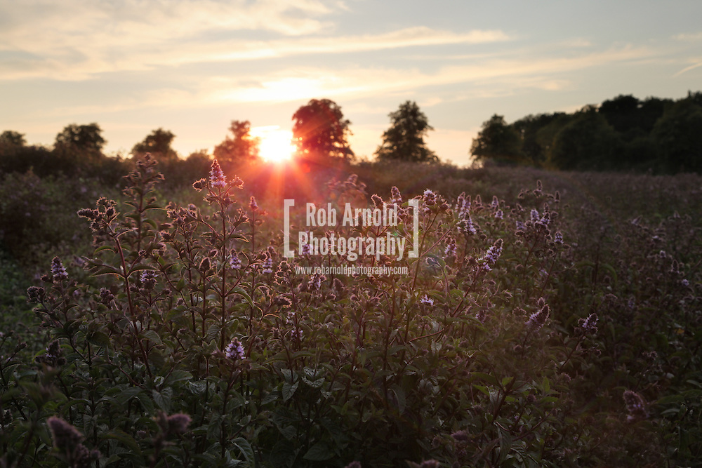 © Rob Arnold.  06/08/2014. Hampshire, UK. Sunset over the Black Mitcham peppermint fields on the Malshanger estate. The peppermint will soon be harvested to be turned into tea and oil, which is used in chocolate making and other food products. The farm grows mint, lavender and camomile as their 'aromatic' crop, along with the staple farm crops such as wheat, barley and oats. The oil is available direct from Summerdown Mint, but is also available from Neal's Yard in London. The tea is sold at leading retailers nationwide, including Booth's, Harvey Nichols, Partridge's & Waitrose. Photo by Rob Arnold