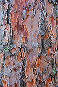Bark of red pine trees (Pinus resinosa)<br /> Sioux Narrows Provincial Park<br />Ontario<br />Canada
