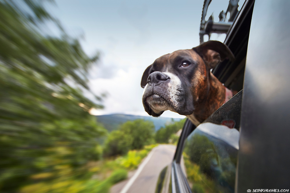 A boxer dog rides the backseat of a car with her head outside the window.