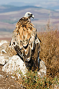 Griffon Vulture (Gyps fulvus) on the ground seen from behind. Photographed in Israel