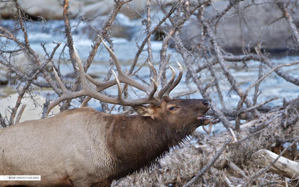 Bull elk bugling along stream