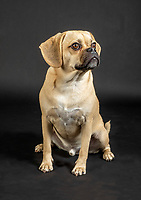 Portrait of young adorable puggle posing in studio