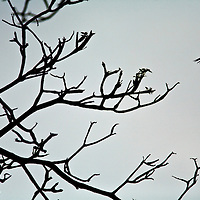 a Parrot or Parakeet flies from a tree at sunset. He is silhouetted by the back light.