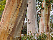 "Gum trees (eucalyptus) grow colorful bark patterns on the Overland Track. Cradle Mountain-Lake Saint Clair National Park, Tasmania, Australia. Mostly native to Australia where they dominate the tree flora, Eucalyptus is a diverse genus of flowering trees (and a few shrubs) in the myrtle family, Myrtaceae. Many are known as gum trees because of copious sap exuded from any break in the bark. Published in ""Light Travel: Photography on the Go"" book by Tom Dempsey 2009, 2010."