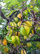 Starfruit, Atuona, Hiva Oa, Marquesas, French Polynesia, South Pacific