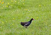 Moorhen, The Cotswolds, Oxfordshire, England, United Kingdom