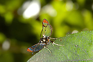 Red-tipped Clearwing Synanthedon formicaeformis Length 11-14mm. A fly-like, day-flying moth. Adult has mainly black body with red band on abdomen. Wings are mainly clear but note the red tips and red leading edge to forewing. Larva feeds in stems of sallows and willows. Widespread but commonest in southern England.