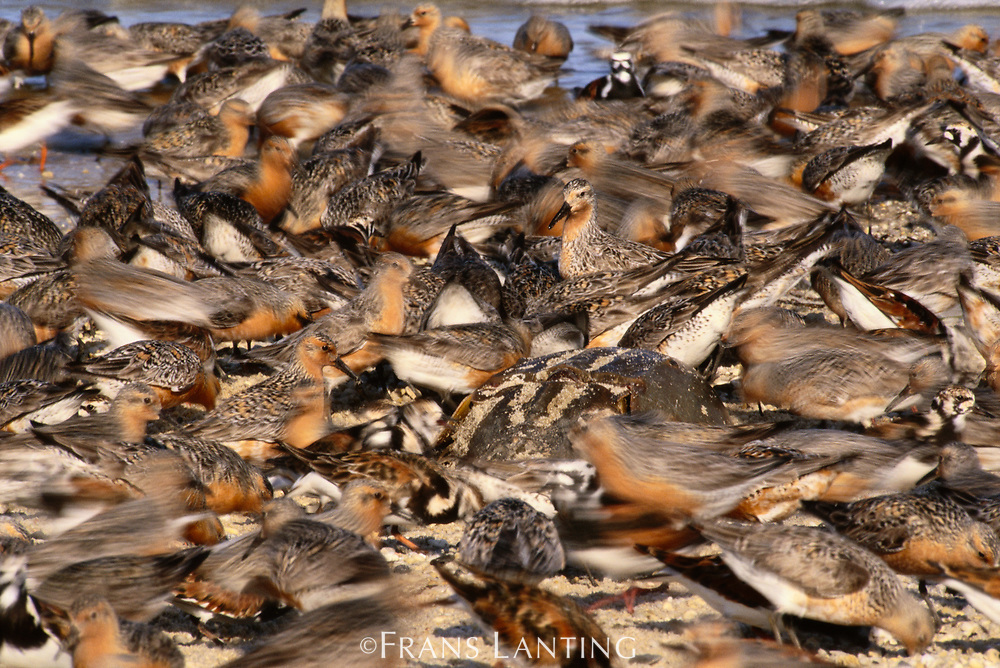 Turnstones feeding on horseshoe crab eggs, Delaware Bay, New Jersey, USA