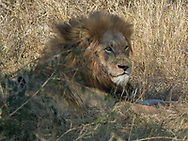 Lion resting after a meal in  Kruger NP, South Africa