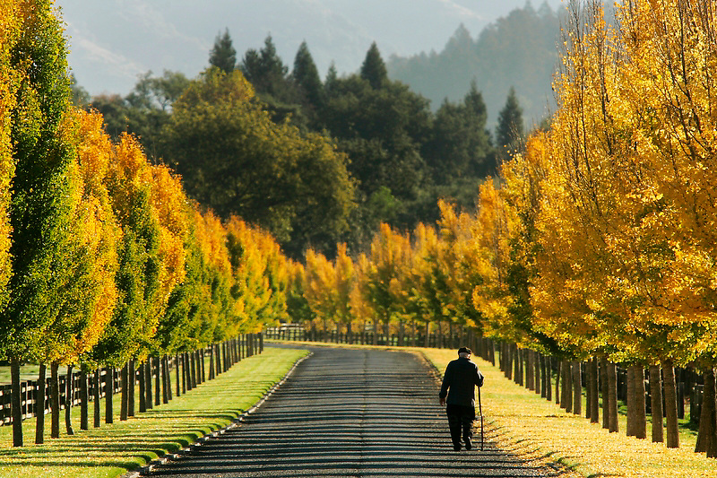 Surrounded by changing gingko trees, a lone walker, who did not want to be identified, walks the long driveway at Far Niente winery Friday morning. Shot on Friday, November 2, 2007. ( Press Democrat / Charlie Gesell )