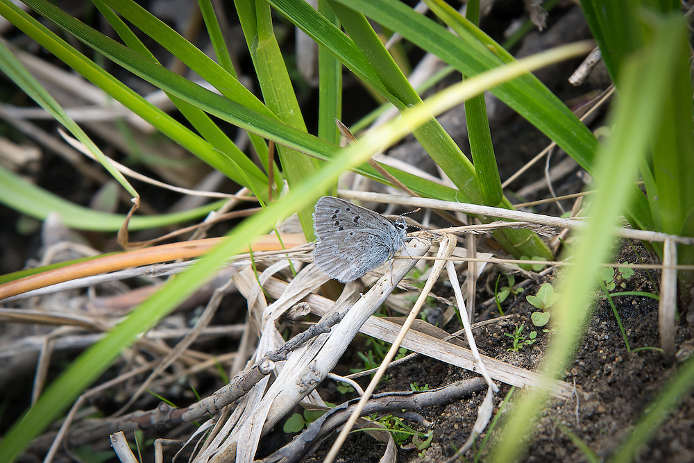 This Silvery Blue (Glaucopsyche lygnadus), a small member of the brushfoot butterfly family is collecting moisture from the edge of a creek in Kittitas County, Washington.