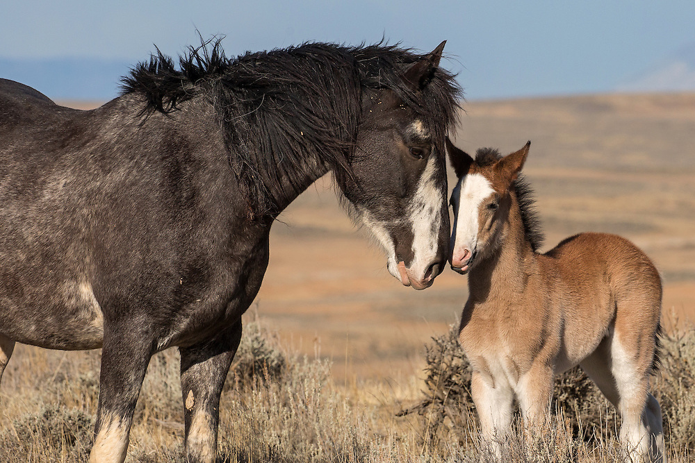 The mare, Miley, gave birth to this cute little fellow in late March of 2016. Thus far, Miley's colt, known as Muskogee, is the only youngster on the range, but I'm hopeful that he'll soon have some other foals to play with.