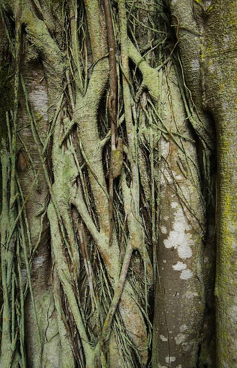 Close-up view of a Banyan Tree