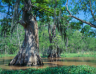 Old growth cypress tree in southern swamp, Atchafalalaya Basin, © 1995 David A. Ponton