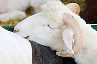 Sleeping sheep: a white ram dozes with its head on a neighbor's back.