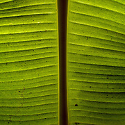 Oman, Hawiyah. January/26/2008...The green leaf of a banana tree in an oasis plantation in the village of Hawiyah.