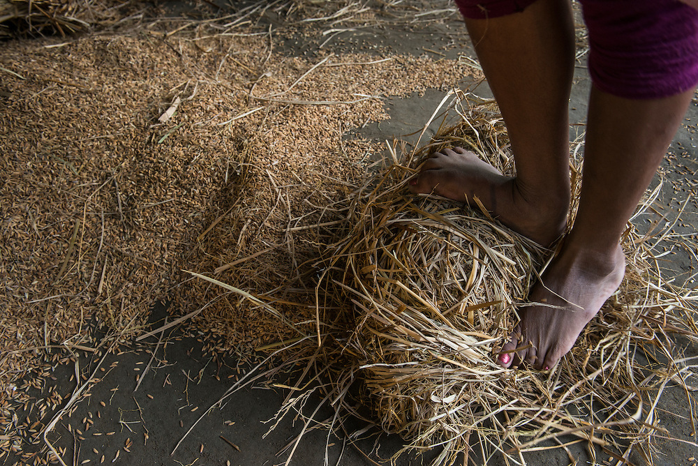 Threshing rice by foot to separate the grain from the straw<br /> Mising Tribe (Mishing or Miri Tribe)<br /> Majuli Island, Brahmaputra River<br /> Largest river island in India<br /> Assam,  ne India