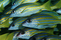 Mozambique Indian Ocean school of bluestripe snappers (Lutjanus kasmira) close-up