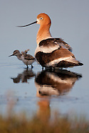 An american avocet chick emerges from its mother's protection in search of food