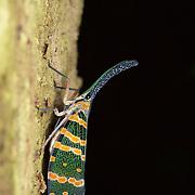 Pyrops spinolae lantern bug in Kaeng Krachan National Park, Thailand.
