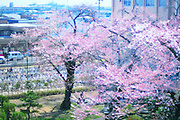 A view from Hirosaki university in the spring time. Wonderful cherry trees and hundreds of bicycles.