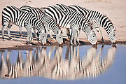 Line of plains zebras drinking at a waterhole and reflected in the water below in Kenya, Africa (photo by Wildlife Photographer Matt Considine)
