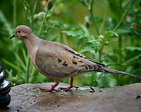 Mourning Dove. Image taken with a Nikon D5 camera and 600 mm f/4 VR lens (ISO 1600, 600 mm, f/5.6, 1/800 sec).