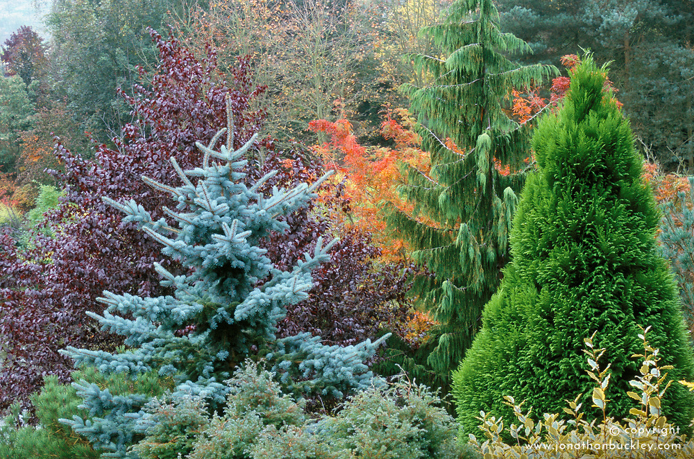 Autumnal view across the trees from the top of the garden at The Dingle, Powis. The cypress is Chamaecyparis nootkatensis.