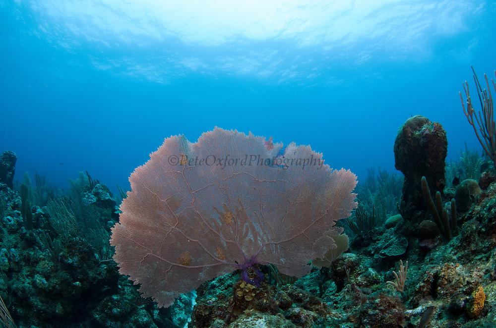 Common Sea Fan (Gorgonia ventalina)<br /> Ambergris Caye<br /> Belize<br /> Central America