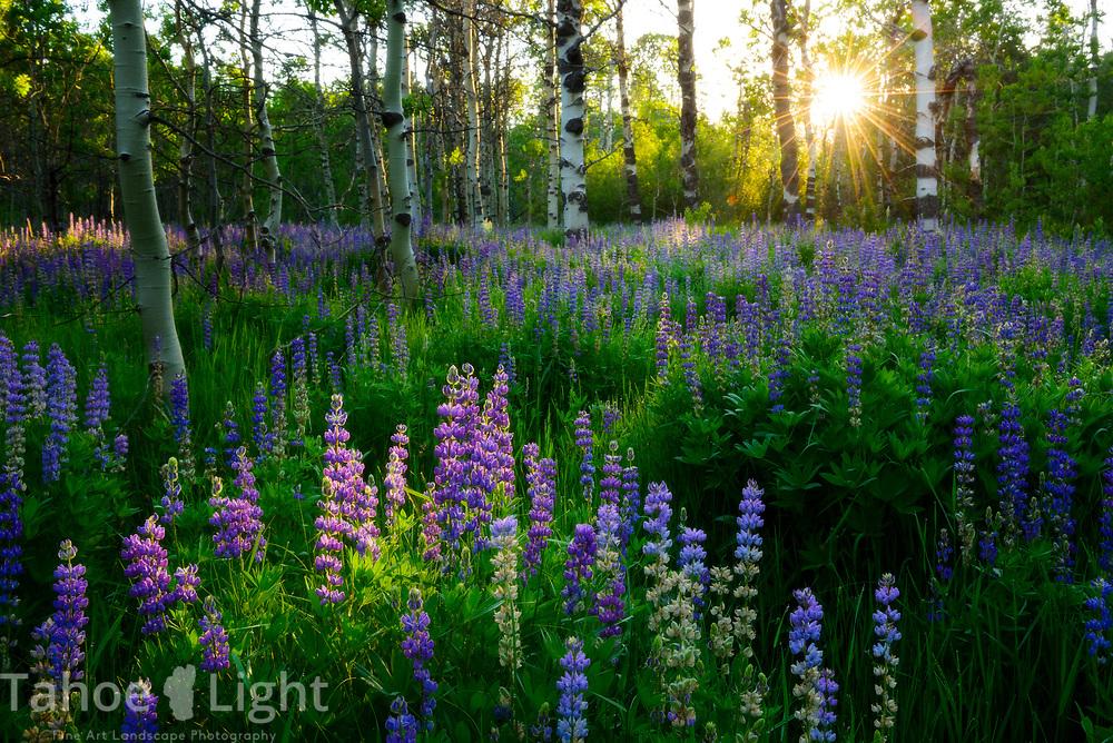 Sunrise through Aspen field on bush Lupin near Mt. Tallac  in South Lake Tahoe.