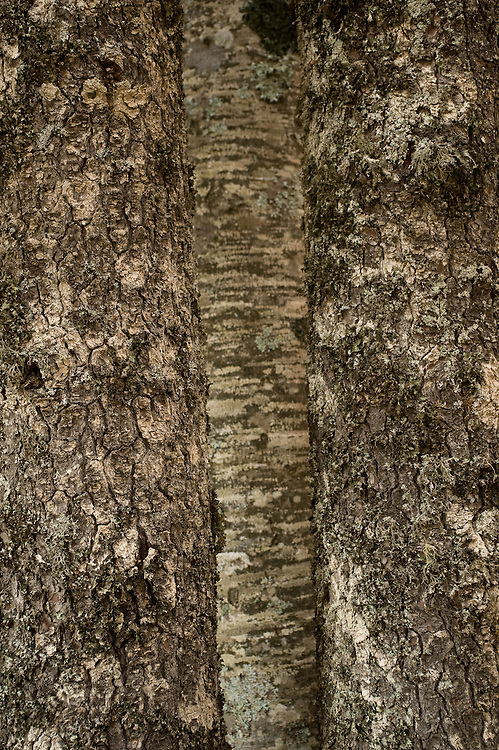 Greece, Pindos Mountains, Pindos NP, Valia Calda, Tree trunks in Beech forest