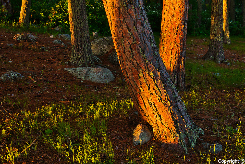 Sunset light on stems of red pine trees (Pinus resinosa<br /> Pinus resinosa)<br />Sioux Narrows Provincial Park<br />Ontario<br />Canada