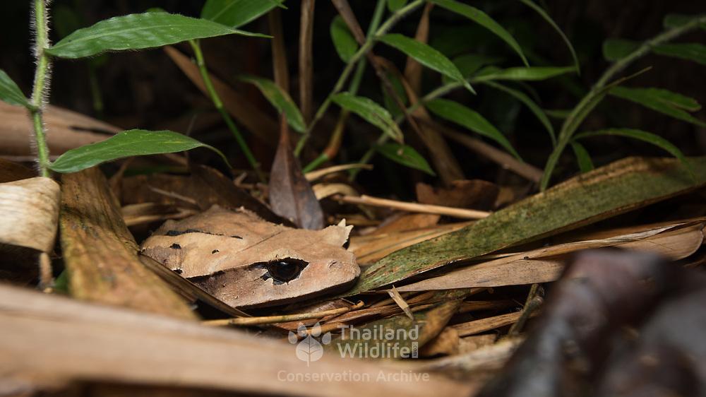 Burmese Horned Frog (Brachytarsophrys carinense) in situ in Kaeng Krachan national park, Thailand