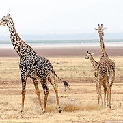Three giraffes walking at Lake Manyara National Park in northern Tanzania. The semi-dry salt lake is visible in the distance.