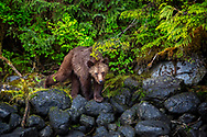 Young female grizzly peering out from Great Bear Rainforest shore