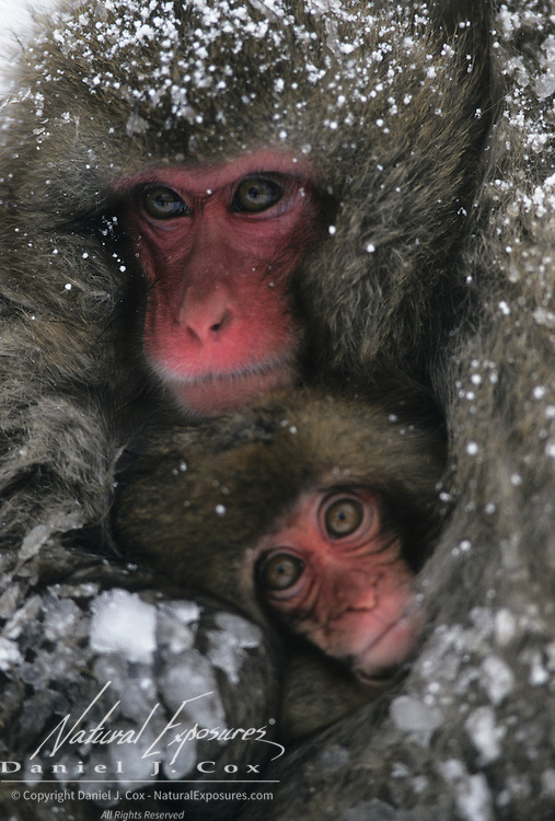 Snow Monkey or Japanese Red-faced Macaque mother and baby. Japan