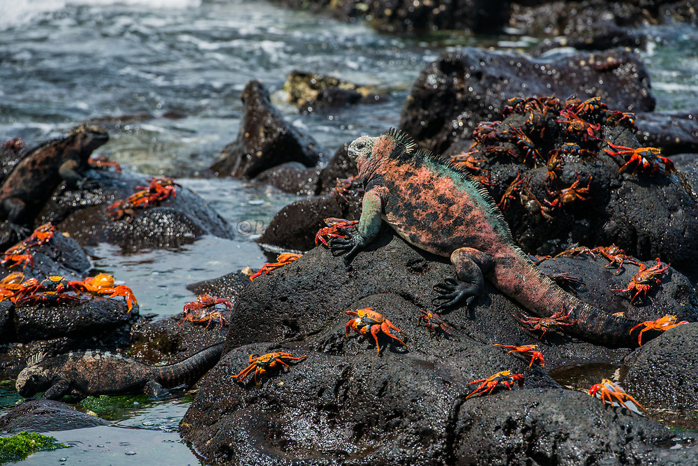 Marine Iguana (Amblyrhynchus cristatus) & Sally Lightfoot Crabs (Grapsus grapsus)<br /> Black Beach, Floreana Island<br /> Galapagos<br /> Ecuador, South America<br /> ENDEMIC TO THE ISLANDS<br /> Breeding colors, December