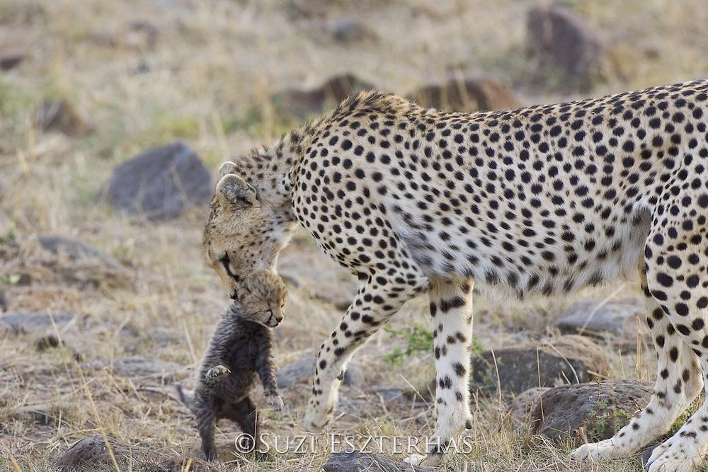 Cheetah<br /> Acinonyx jubatus<br /> Female carrying 16 day old cub<br /> Maasai Mara Reserve, Kenya