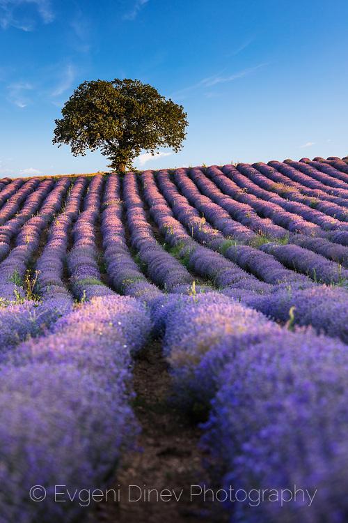 Violet furrows of lavender plants