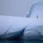 Adelie Penguin, (Pygoscelis adeliae) On ice berg. Paulet Island. Antarctica Peninsula.